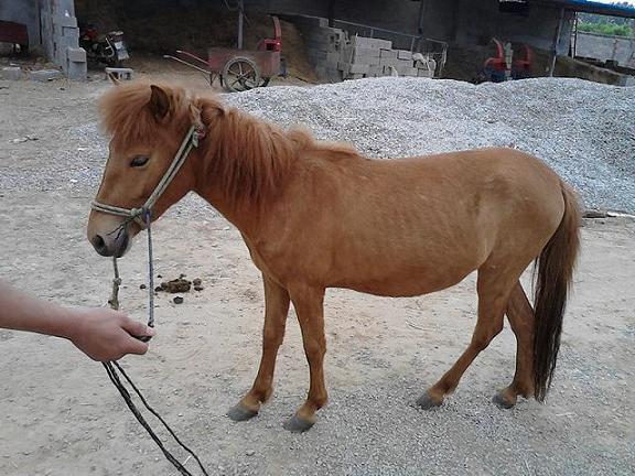 矮马出售_楚雄禄丰迷你矮马养殖|大型矮马养殖基地