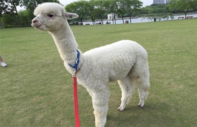 """榆林羊驼养殖场  成年羊驼价格  """"草泥马""""羊驼供应"""