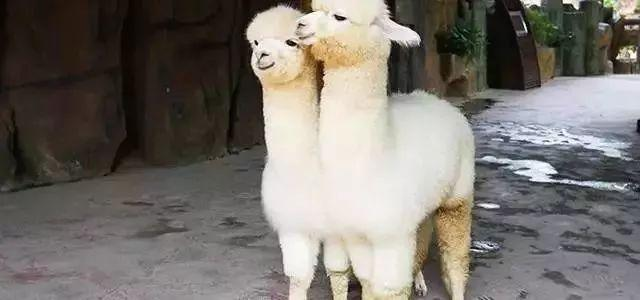 (常年出售)羊驼-羊驼活体-铁岭小羊驼厂家