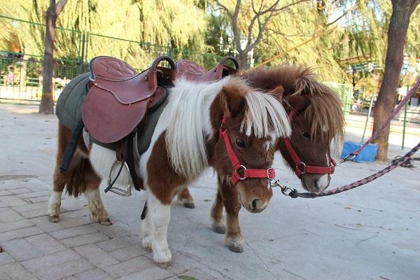 迷你矮马养出售|养殖方法/效益  儿童骑乘矮马出售