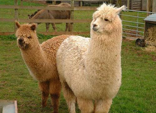 """鸡西出售羊驼  羊驼种羊价格  """"草泥马""""羊驼供应"""
