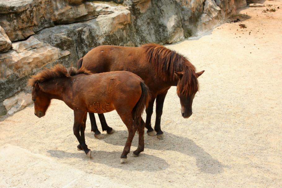 矮马出售_昆明盘龙矮马养殖-供骑乘 教学 景区等