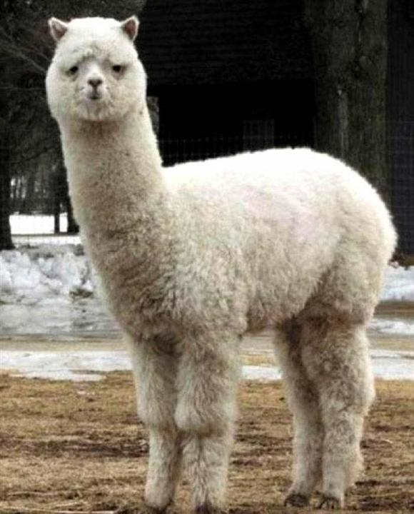 《羊駝養殖》純種羊駝多少錢一只-來賓哪里有賣的