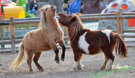 矮马出售_马鞍山花山小矮马养殖场-鸿金源矮马养殖