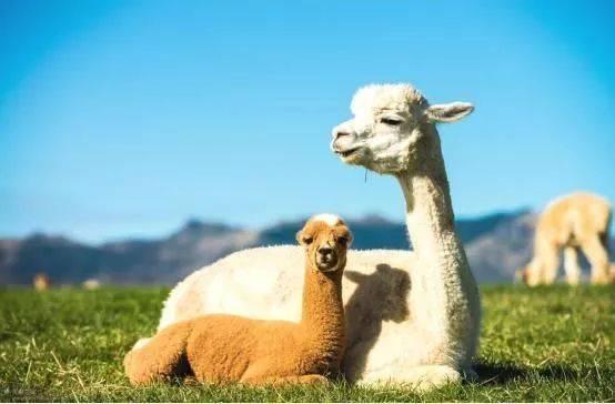 佛山出售羊驼  澳洲羊驼价格  萌宠羊驼供应