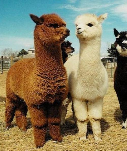 新乡附羊驼养殖基地  澳洲羊驼价格  迷你观赏羊驼供应