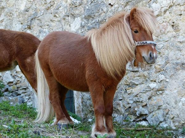 矮马出售_马鞍山博望德保矮马养殖场-矮马养殖求购