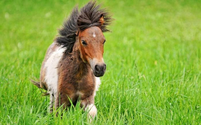 矮马出售_滨州博兴德保矮马养殖-养殖市场前景分析