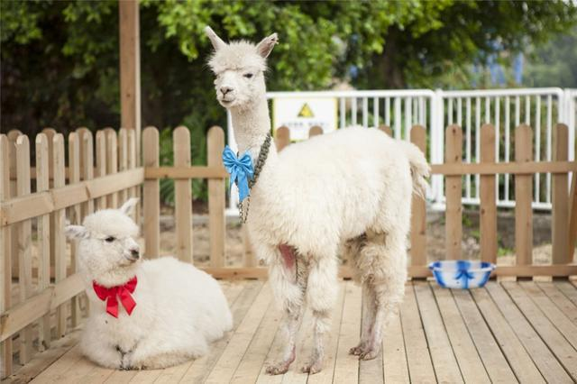 (常年出售)羊驼-半岁羊驼-三明小羊驼养殖方法