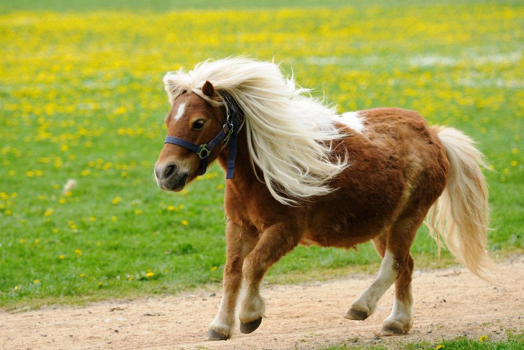 矮马出售_洛阳栾川迷你矮马养殖-鸿金源矮马养殖