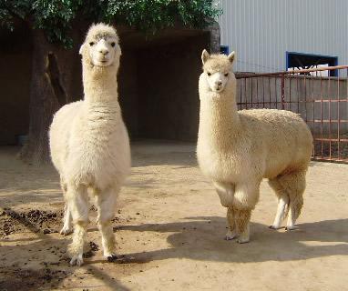 【鸿金源养殖】:萍乡羊驼幼崽养殖