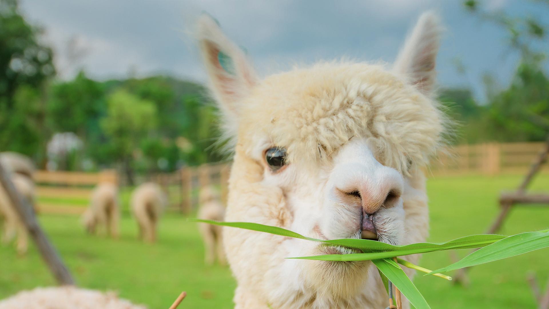 羊驼养殖_各年龄段羊驼厂家现货_观赏展览羊驼市场价_【鸿金源萌宠养殖】
