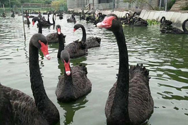 金华黑天鹅价格,景区池塘展览黑天鹅多少钱一只
