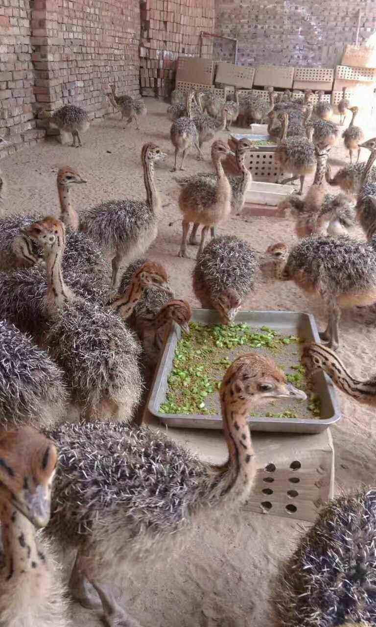 锡林郭勒盟镶黄旗澳洲鸵鸟养殖-鸵鸟养殖方法