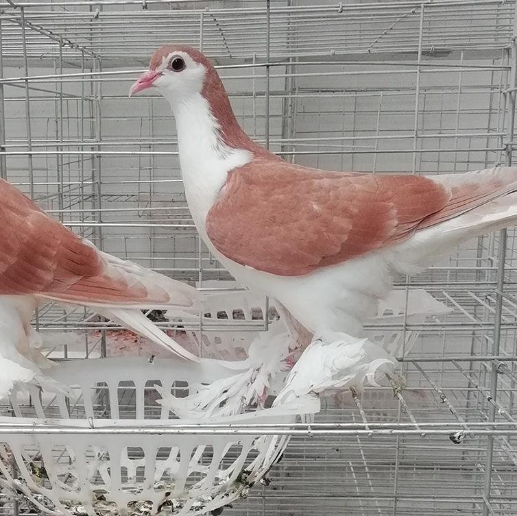 鹤壁元宝鸽一只出售多少钱 元宝鸽什么地方出售-《种鸽出售》