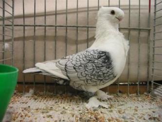 《种鸽养殖》崇左淑女鸽|种鸽哪里有卖的