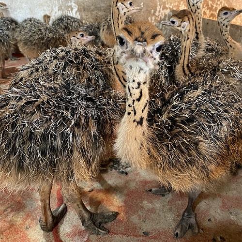 蚌埠市供应鸵鸟-蚌埠市鸵鸟幼苗市场价-【生态养殖场】