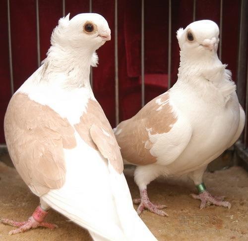 肉鸽|观赏鸽养殖--广元白羽王鸽养殖场