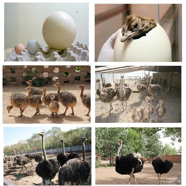 运城-(供应)观赏鸵鸟-运城鸵鸟苗养殖场
