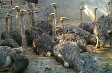 岳陽市供應鴕鳥-岳陽市純種鴕鳥常年出售-【生態養殖場】