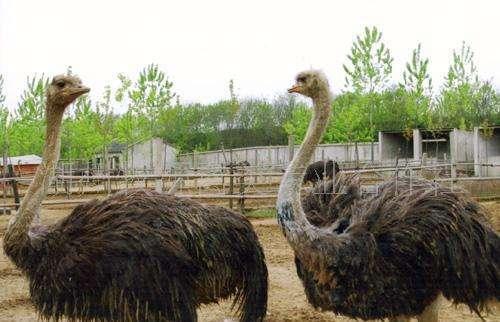 达州市供应鸵鸟-达州市成年母鸵鸟求购-【生态养殖场】