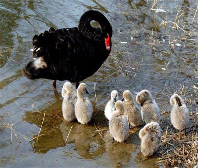 定西供应黑天鹅_观赏水禽-黑天鹅繁育基地_珍禽养殖