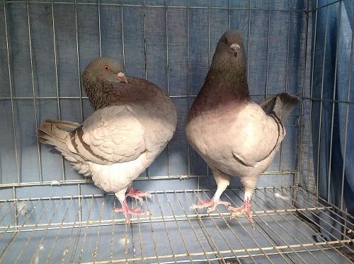 恩施白羽王种鸽厂家出售电话 落地王种鸽哪里有