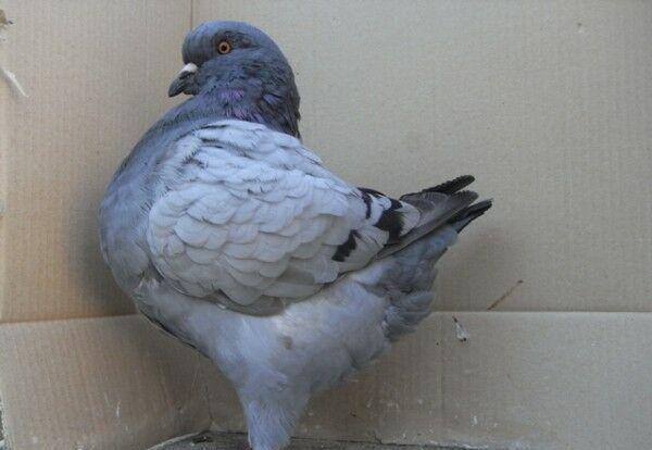 肉鸽|观赏鸽养殖--广元摩登那种鸽价格