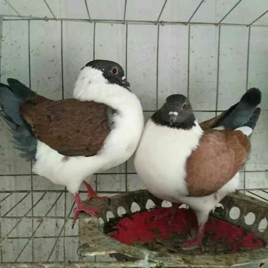吴忠元宝鸽好养殖吗 摩登娜观赏鸽一只出售多少钱