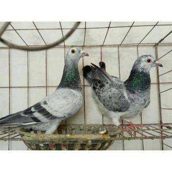 山东凤尾鸽哪里有养殖出售的