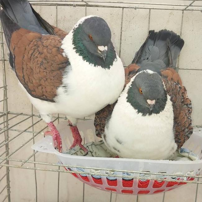 丽水两头红观赏鸽购买电话
