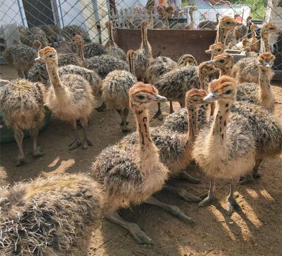 西咸-(供应)各年龄段鸵鸟-西咸成年鸵鸟养殖