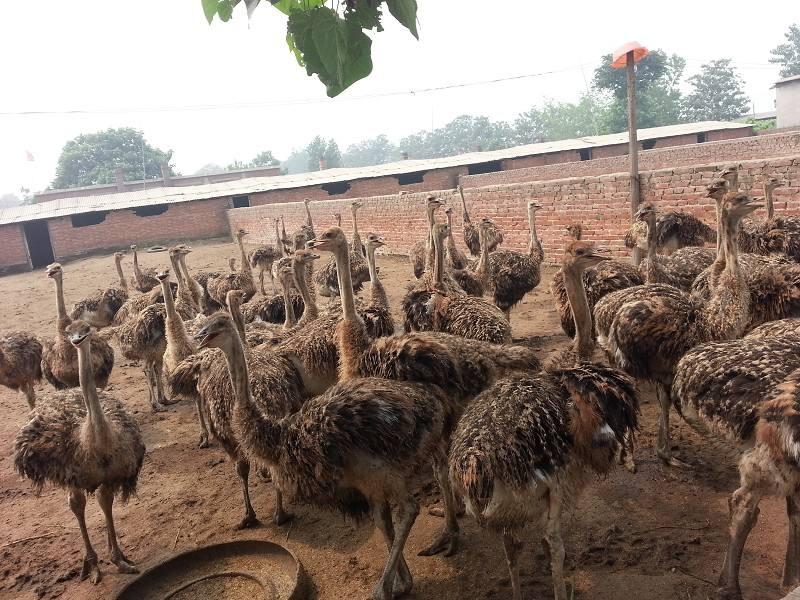 南通市供应鸵鸟-南通市纯种鸵鸟求购-【生态养殖场】