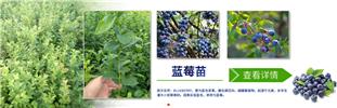 广安蓝金蓝莓苗种植厂家