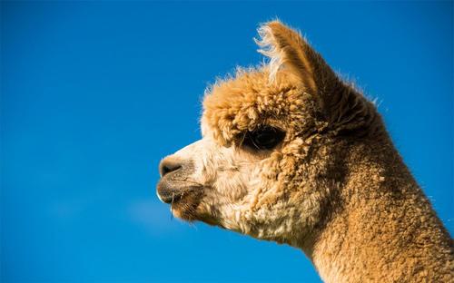欢迎来访山西山羊展览动物租赁公司