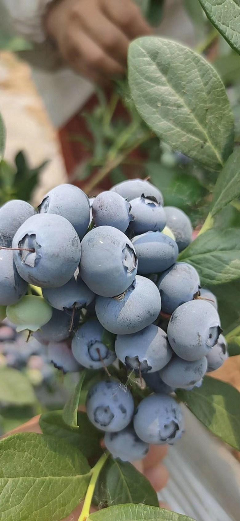 内江蓝莓苗批发价格表-种植栽培技术