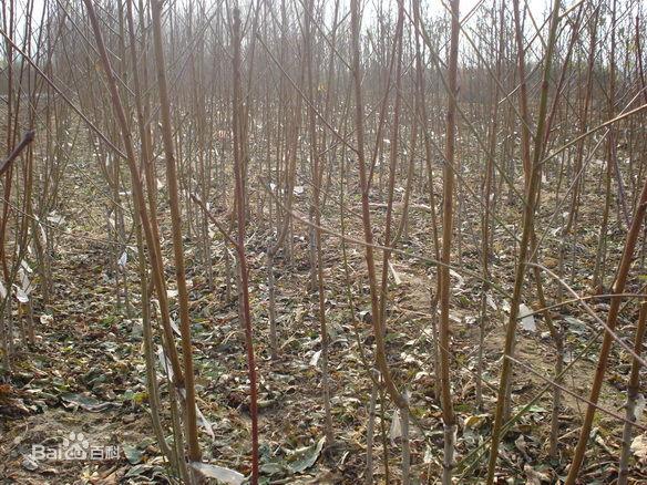 安阳林州哪里有2-3年桃树苗新鲜苗