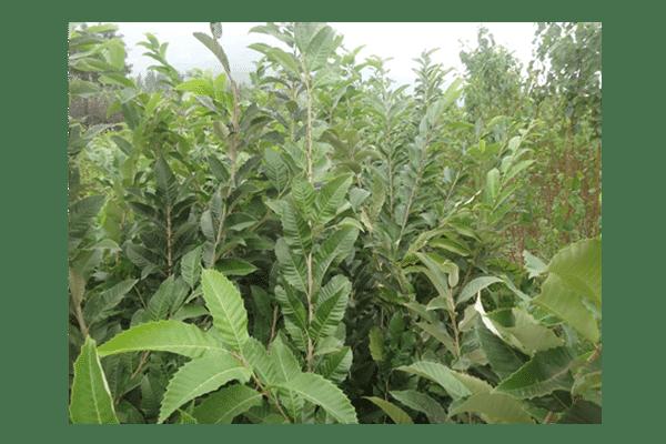黄棚板栗苗丨黄棚板栗苗种植要求丨六公分黄棚板栗苗丨黄棚板栗苗零售价