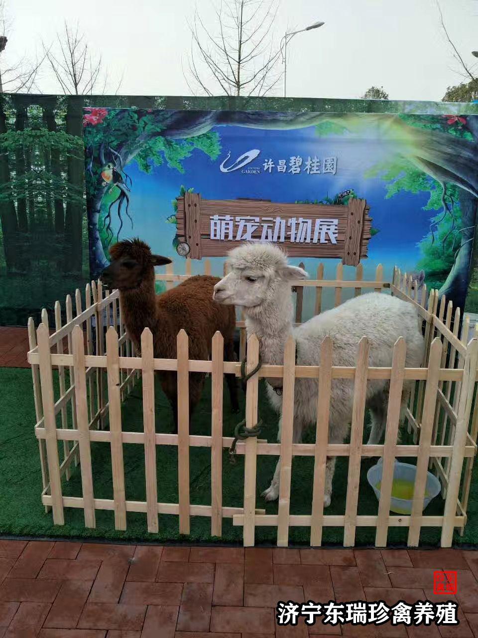 凉山出租羊驼萌宠主题巡展出租「多少钱」