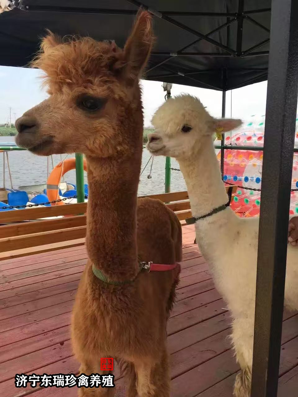 临夏回族自治州羊驼租赁如何策划?