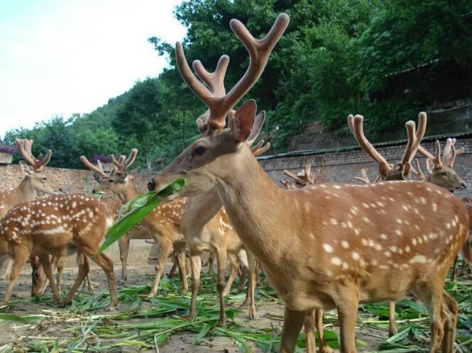 绵阳怀孕母鹿养殖基地在哪