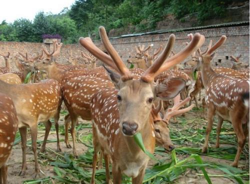 厂家直销(大型宠物梅花鹿) -南京市种梅花鹿养殖场