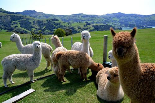 黄冈宠物羊驼哪里有收购的