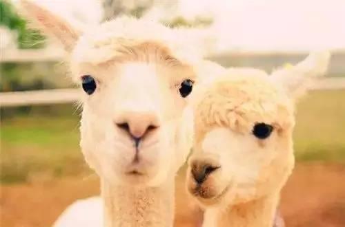 武汉小羊驼羊驼租赁