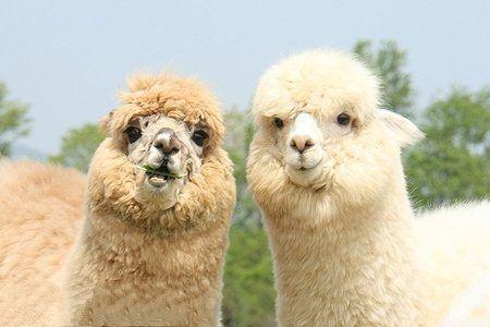 永州市  羊驼养殖加盟  羊驼养殖羊驼养殖基地在哪?--羊驼出售价格