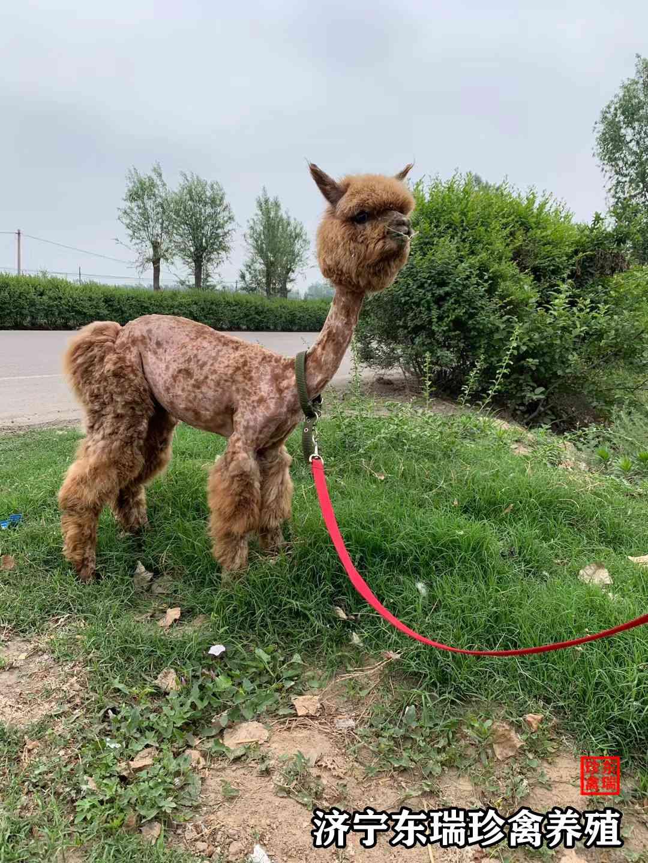 鄂州市羊驼出租如何策划?
