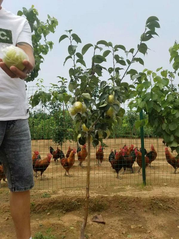 小梨树苗 四年小梨树苗亩产种植量