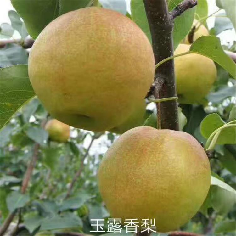 苹博香梨树苗 五公分苹博香梨树苗产地
