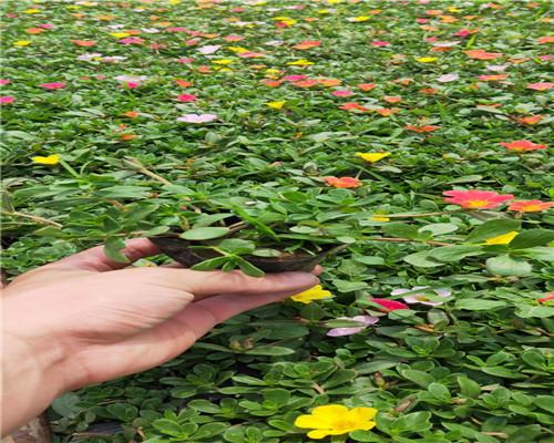 新闻:吉林长春春季开花宿根花卉基地现售