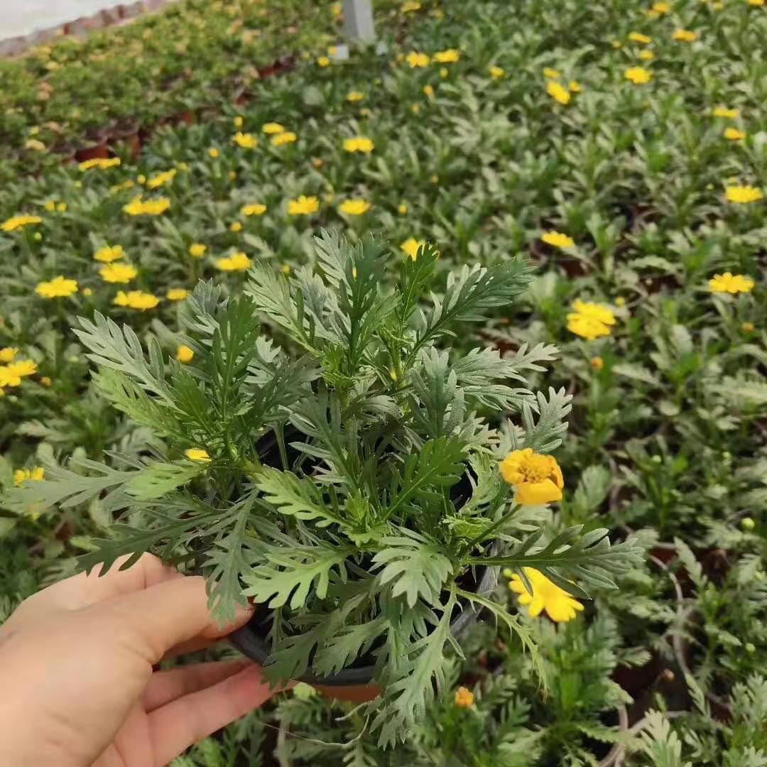 今日信息:安徽铜陵松果菊货源充足